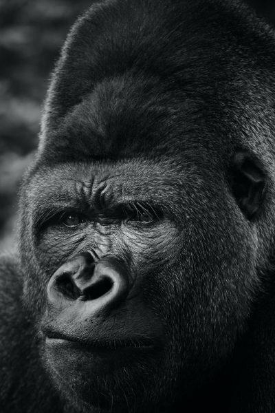GorillaTalk #0001