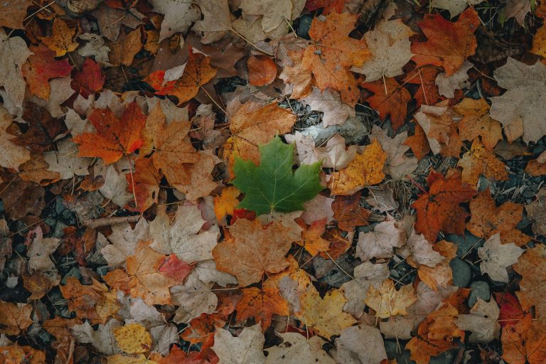 brown and white maple leaves on ground