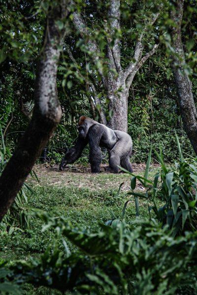 Nackt unter Gorillas